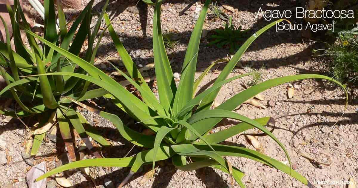 Squid Agave bracteosa growing outdoors in the landscape