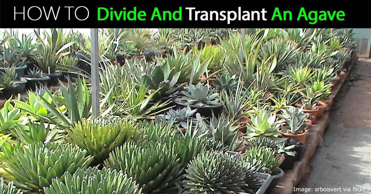 agave-divide-transplant-07312016