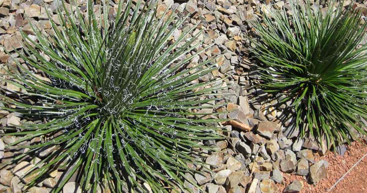 Twin Flowered Century plant (geminiflora)