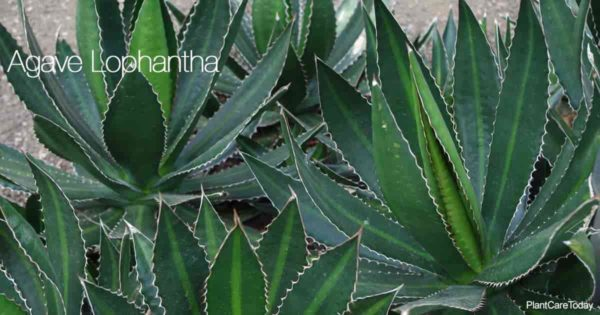 Attractive Agave Lophantha also known as Quadricolor Agave