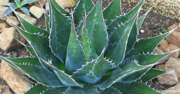 Attractive rosette of the Agave Montana (hardy century plant)