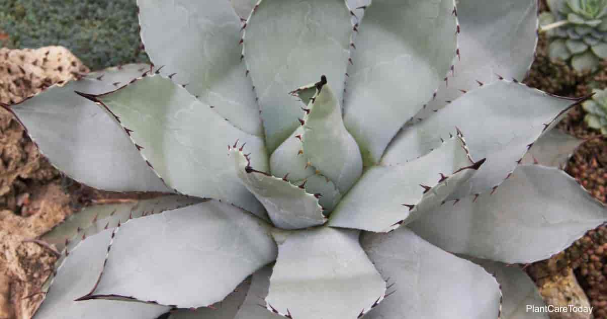 The attractive Agave plant - is it poisonous