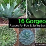 Agave Plants: Growing, Care And Use In the Landscape and Indoors