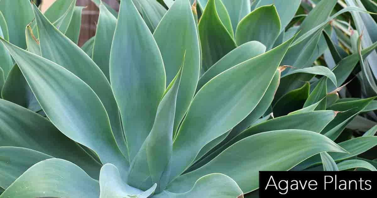 Agave Plants Growing Care And Use In The Landscape And Indoors