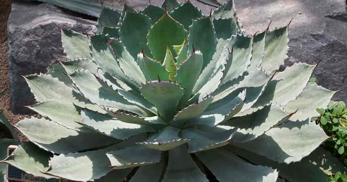 Butterfly Agave Potatorum