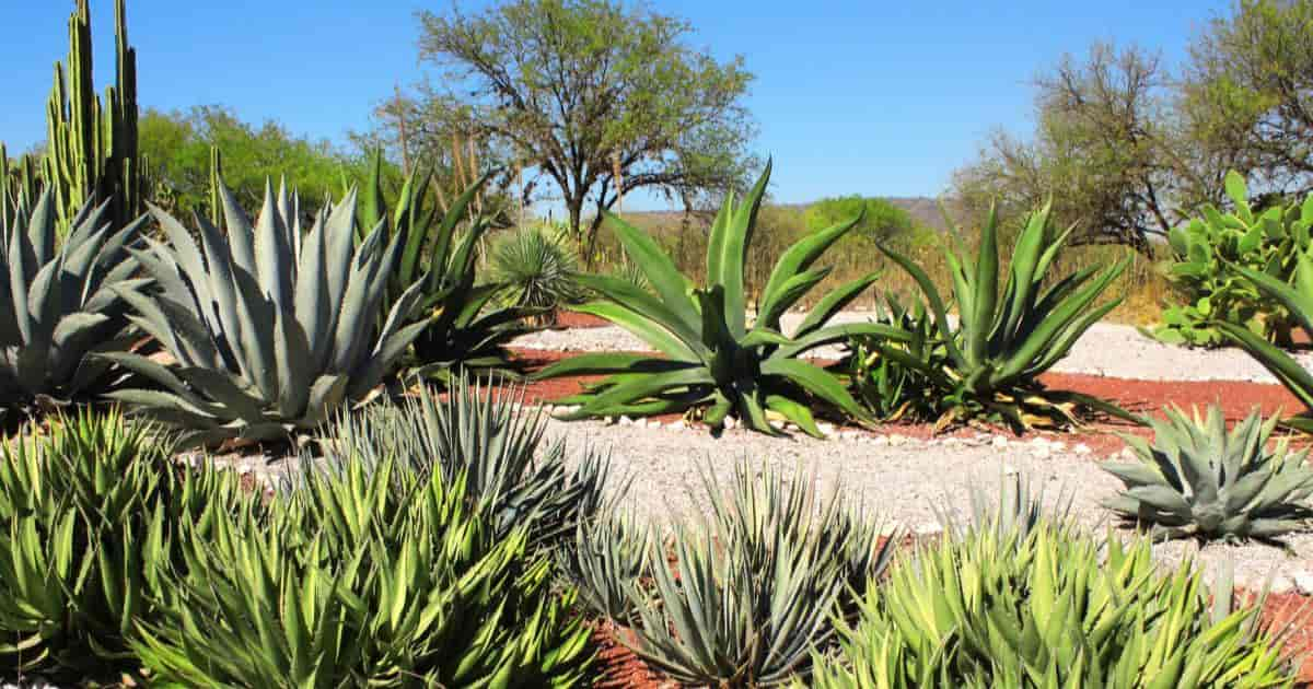 Different Agave types in the garden