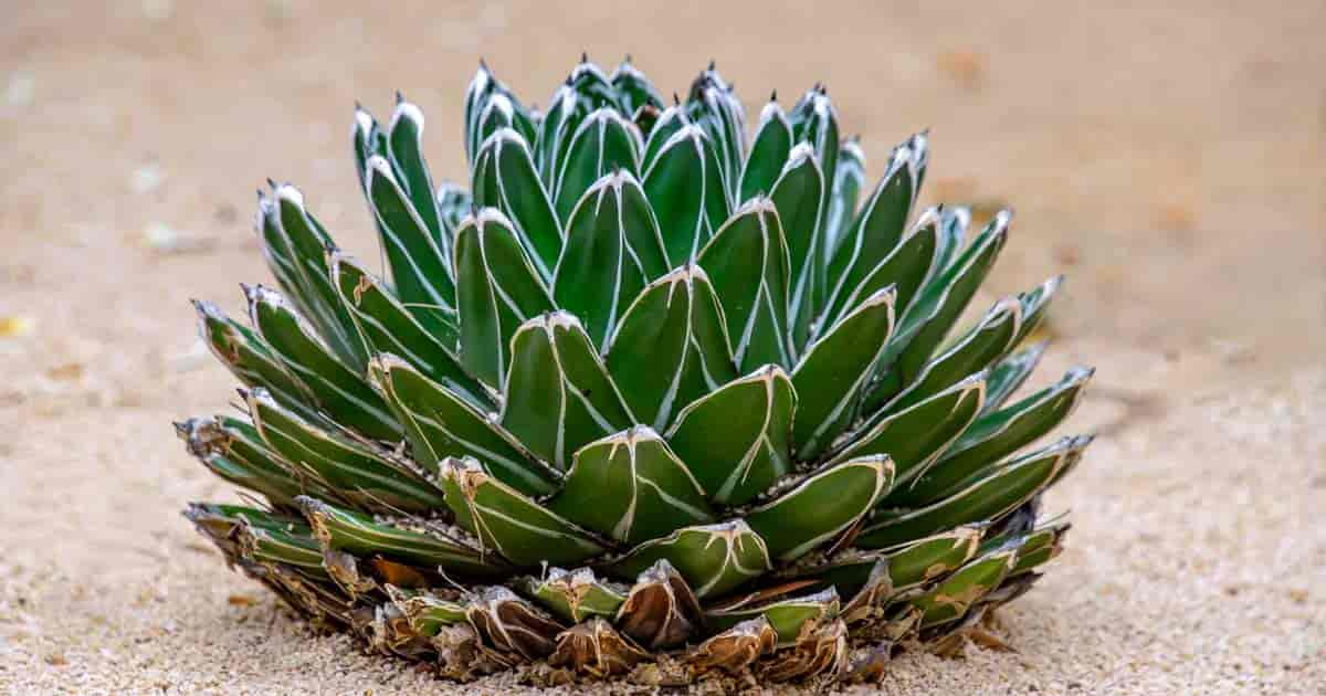 Queen Victoria Agave Century Plant growing in landscape