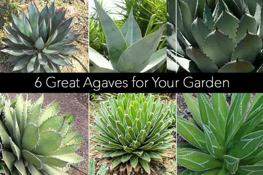 6 Agaves for the garden