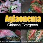 Aglaonema – A Favorite Indoor Plant – Chinese evergreen