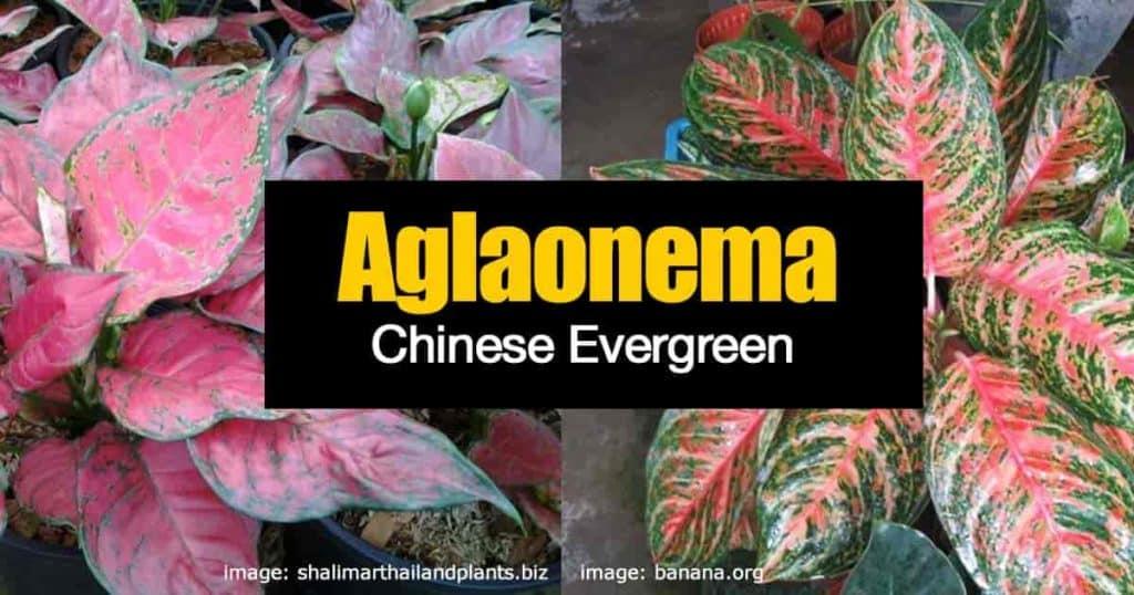 aglaonema new colorful varieties