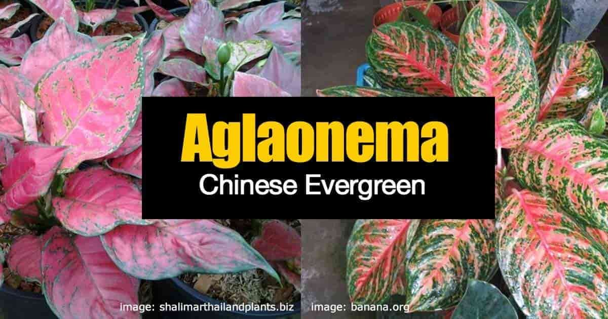 aglaonema new colorful varieties