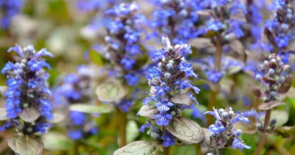 Ajuga Bugleweed ground cover in bloom