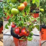 Yes, You Can Grow Tomatoes On A Balcony Or In Alaska – Find Out How!