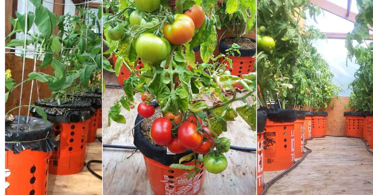 yes you can grow tomatoes on a balcony or in alaska find out how. Black Bedroom Furniture Sets. Home Design Ideas