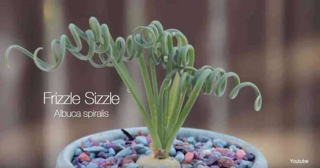 Unusual looking leaves of Albuca Spiralis often called Frizzle Sizzle