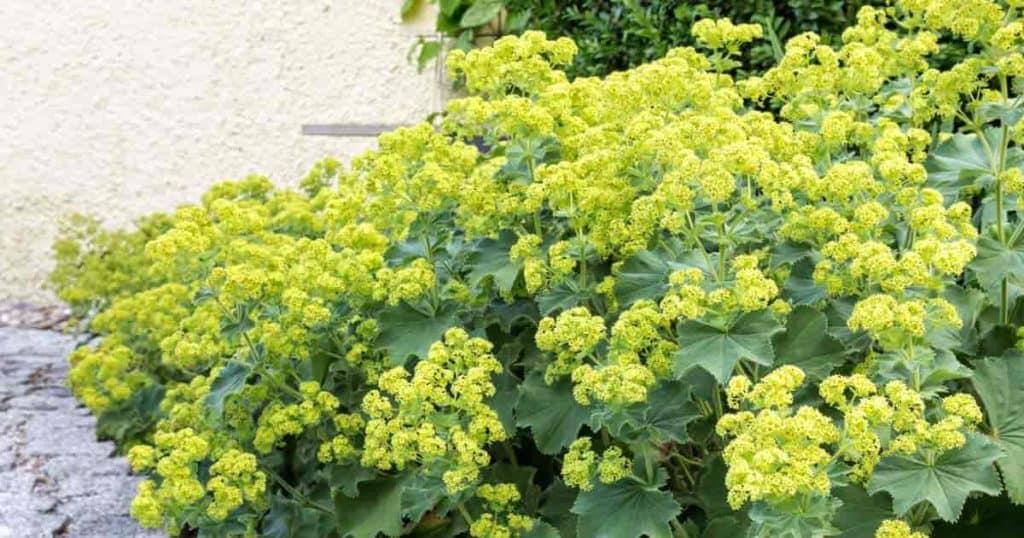 Blooming Alchemilla Mollis on patio border