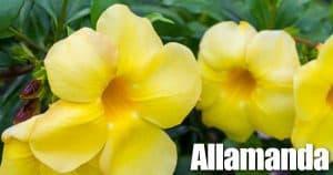 Yellow blooms of the Allamanda plant