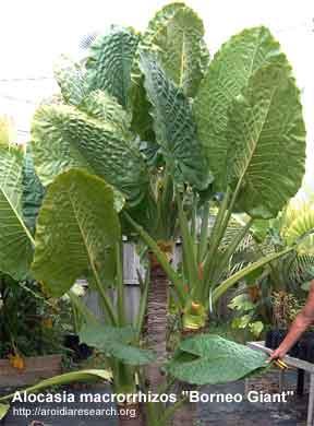 alocasia borneo giant