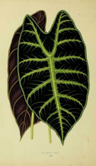 Alocasia Lowii from New and Rare Plants 1870