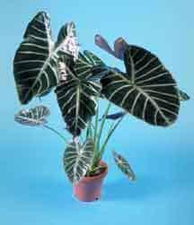 alocasia-plant-2