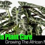 Alocasia Plant Care: Growing The African Mask Plant