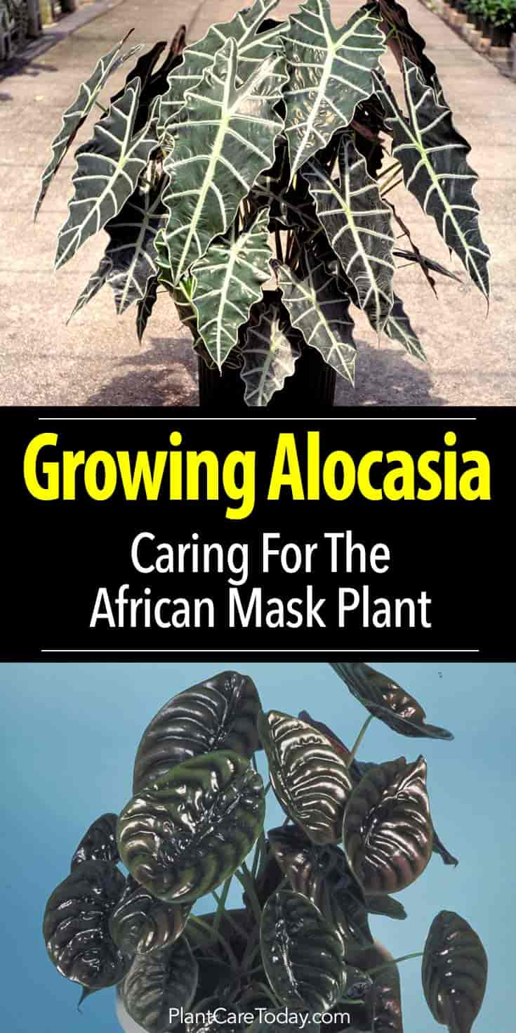 Alocasia Plant Care: Growing The African Mask Plant on