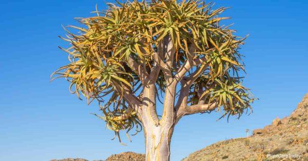 Tree Aloe Barberae