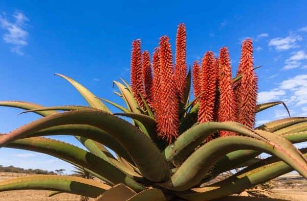 Blooming Aloe plant
