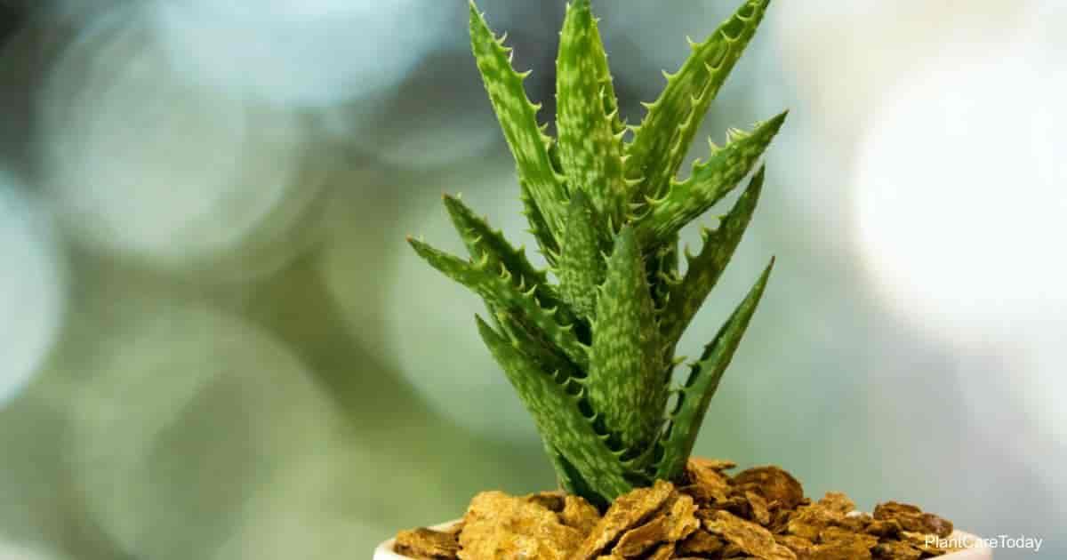 Tiger Tooth Aloe aka Aloe Juvenna
