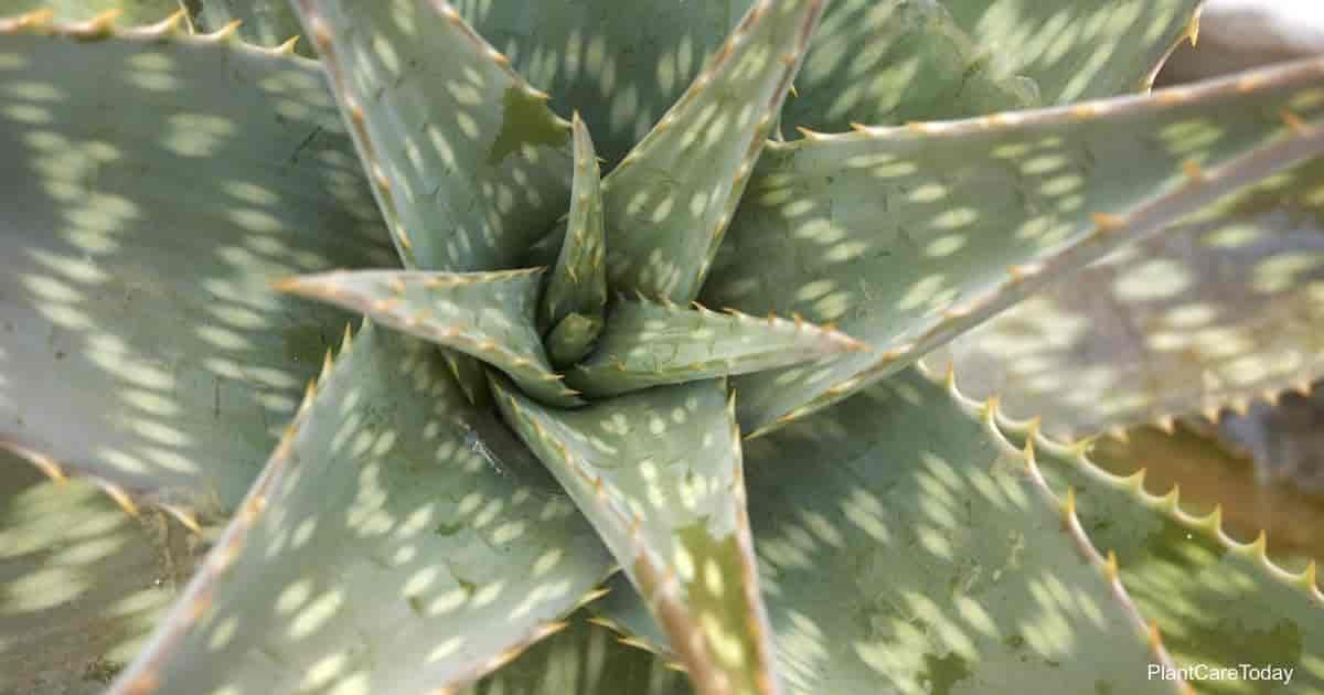 Soap Aloe Maculata