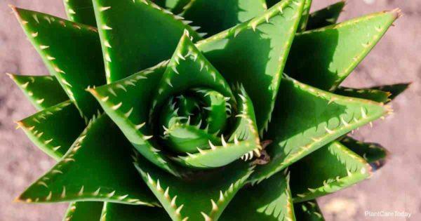 Gold Tooth Aloe Nobilis