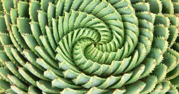 Unusual Spiral Aloe Polyphylla