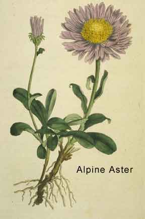alpine aster from Curtis Botanical Magazine