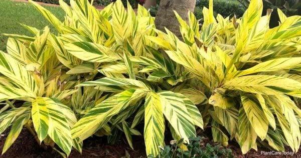 attractive alpinia zerumbet variegata plant