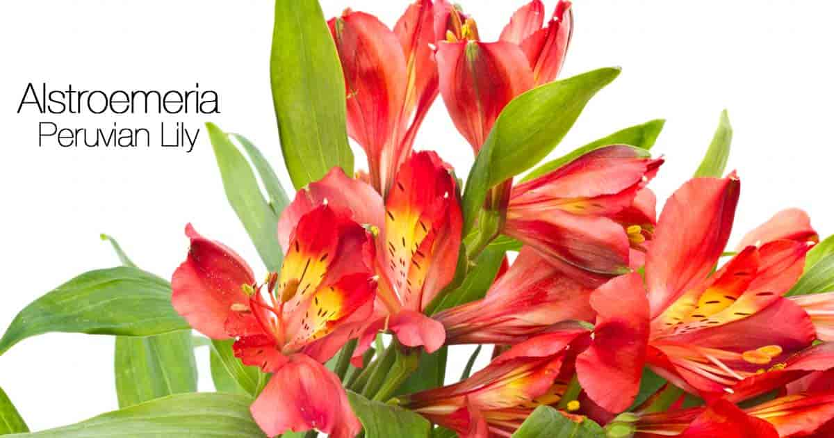 Red Flowers of Peruvian Lily (Alstroemeria Plants)
