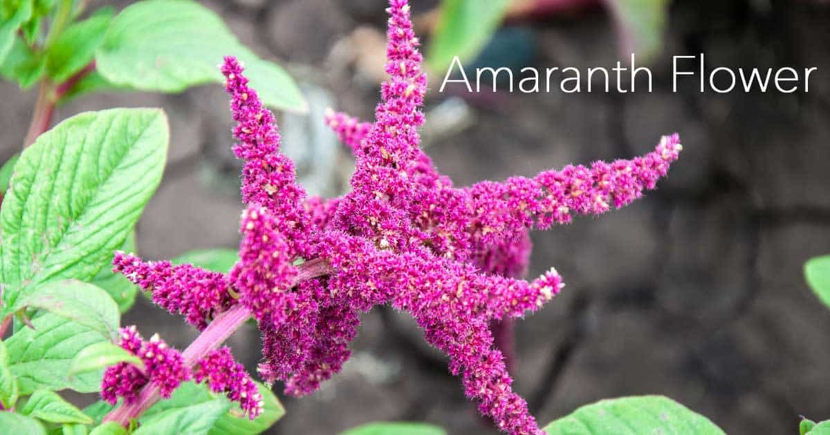 amaranth-flower-07312016