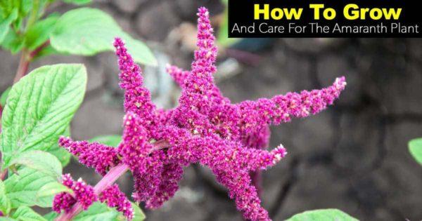 blooming Amaranth plant