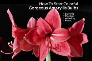 flowering amaryllis bulbs
