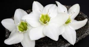 Amazon lily flower [Eucharis Lily]