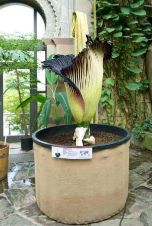 World's largest flower Amorphophallus titanum - aka corpse flower