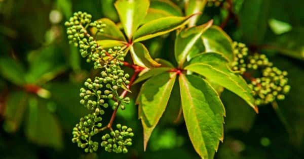 Invasive climbing - Porcelain Berry - Ampelopsis Brevipedunculata