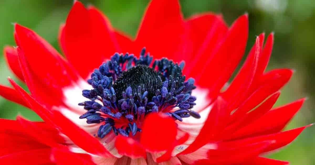 bright red flower of Anemone coronaria