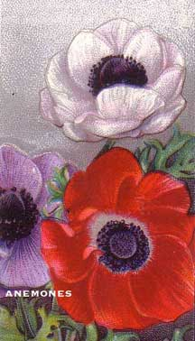 Drawing of Anemone flower in Wills cigarettes packs in the UK
