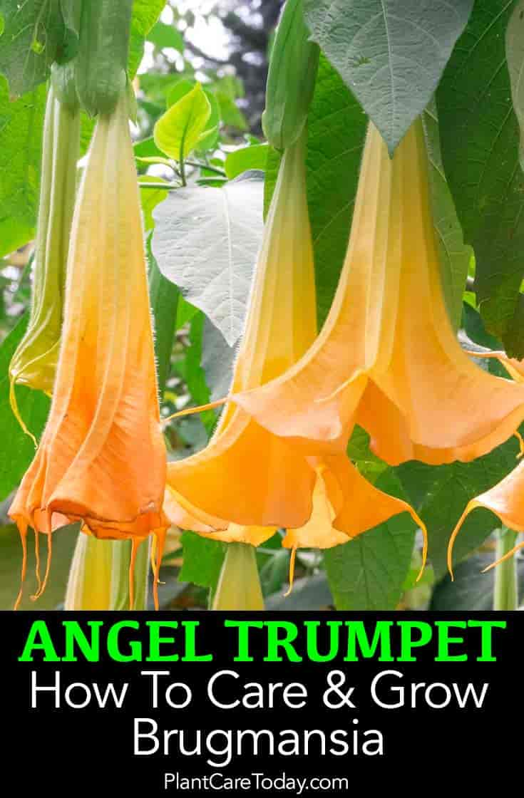 Angel trumpet how to grow and care for brugmansia for How to take care of exotic angel plants