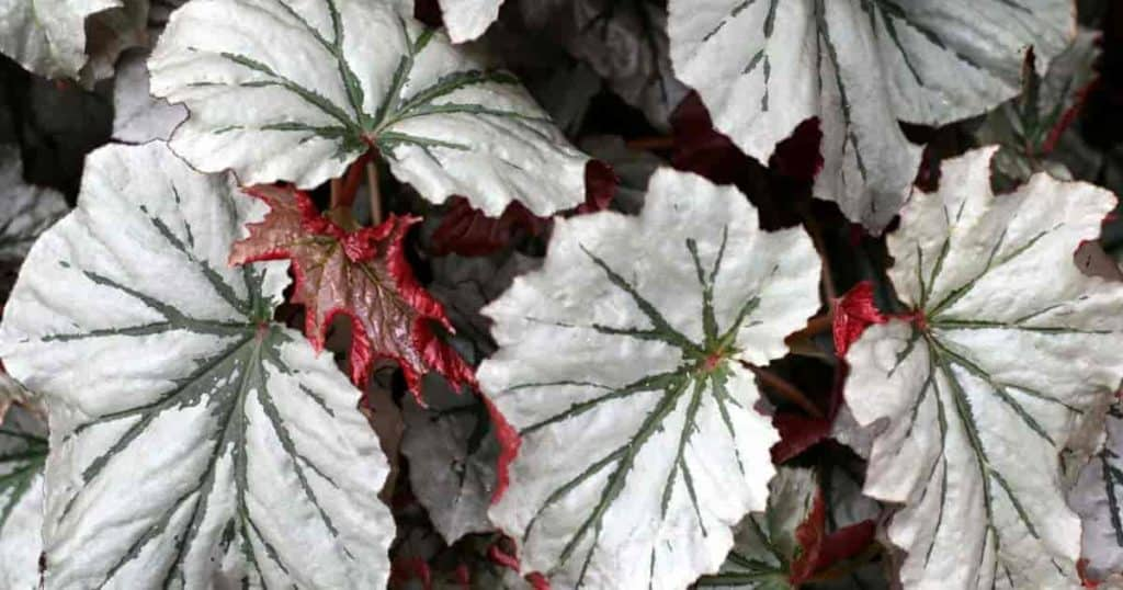 Attractive leaves of the Angel Wing Begonia hybrid