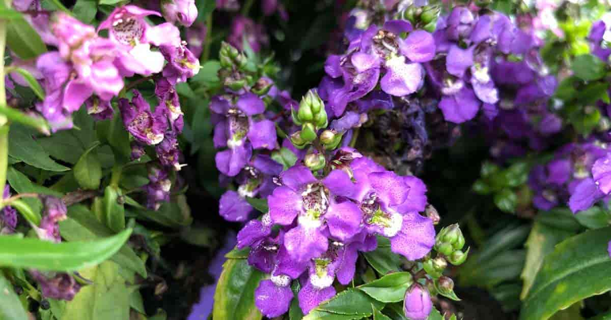 Flowering Angelonia plants - aka Summer Snapdragons