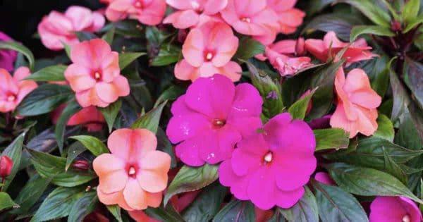 Flowering annual New Guinea Impatiens