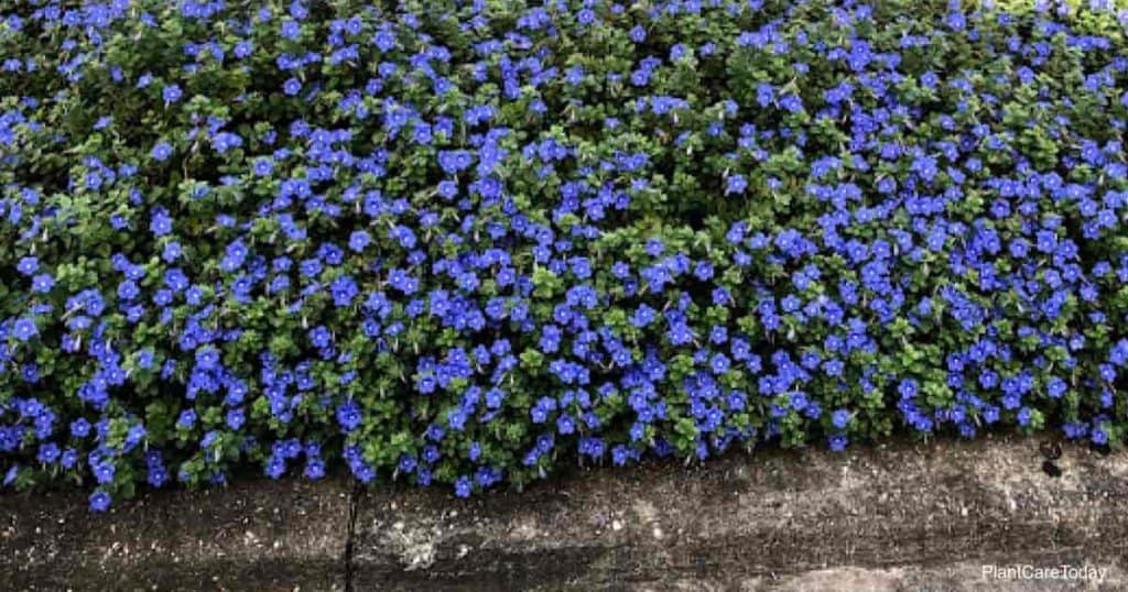 Blooming Evolvulus - Dwarf Morning Glory growing in landscape hell strip