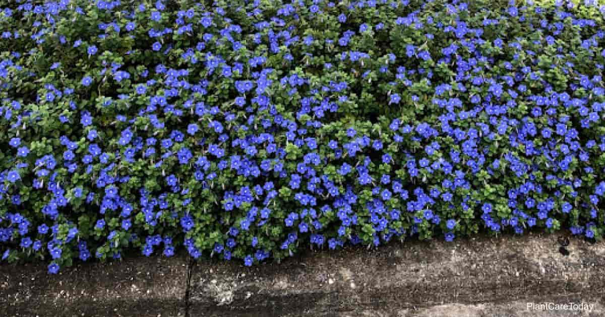 Blooming blue Dwarf Morning Glory growing in landscape hell strip