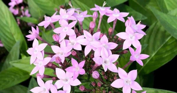 Pink flowering Pentas plant a butterfly favorite